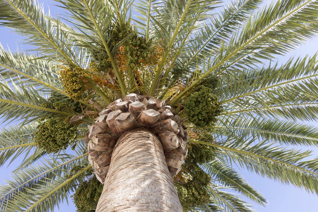 palmera-datilera