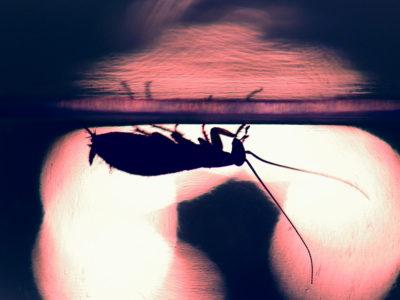 Control de plagas en Mallorca: las cucarachas