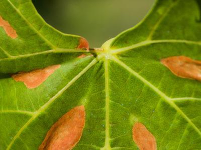 Prevención para la Xylella fastidiosa: el control de plagas con Trima Baleares