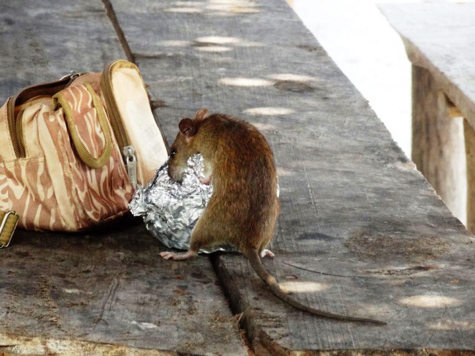 control-de-plagas-mallorca-ratas