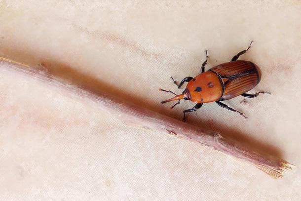 Picudo rojo y paysandisia en Mallorca: dos plagas que atacan nuestras palmeras